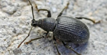 Know About Weevils