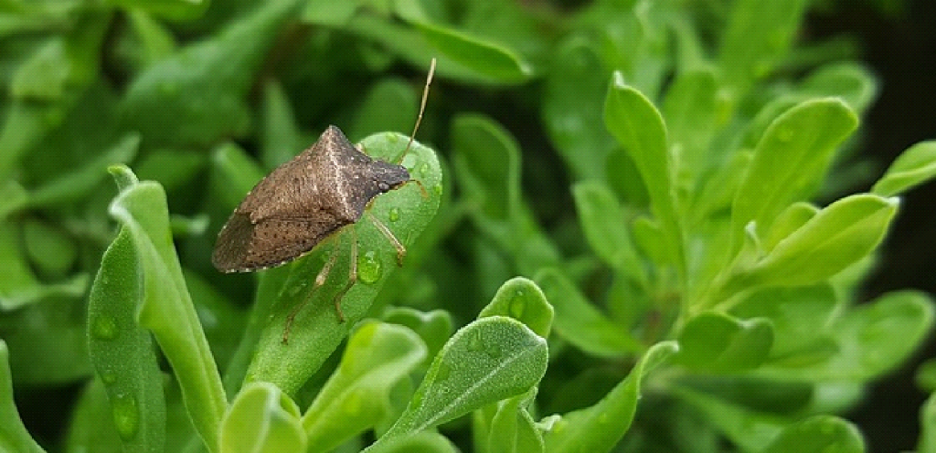 How to Control Stink Bugs During the Fall